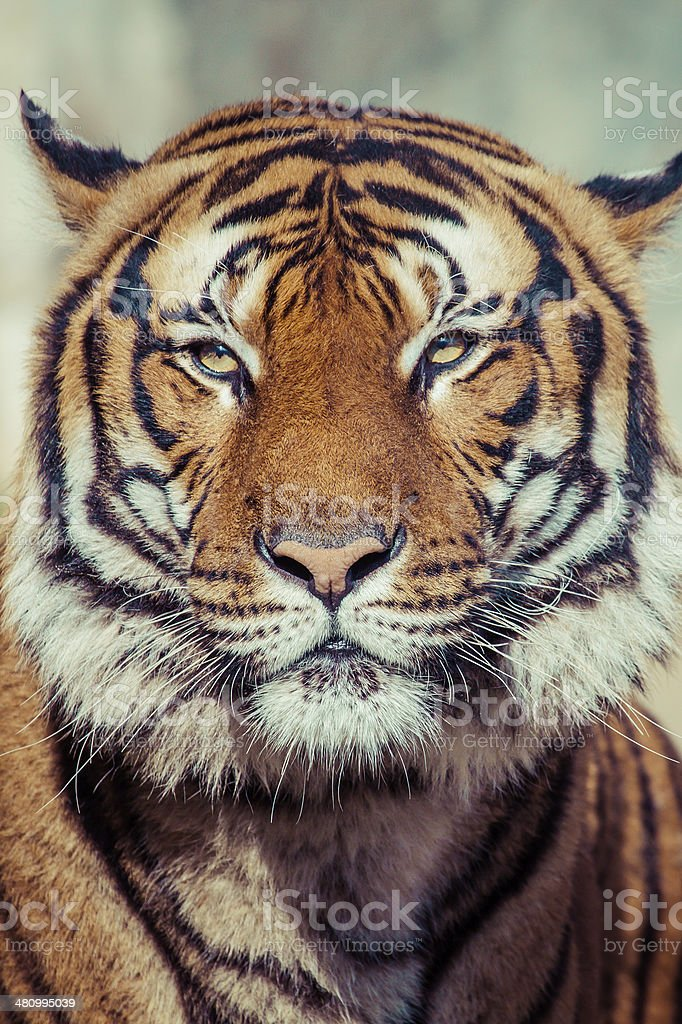 Close-up of a Tigers face. royalty-free stock photo