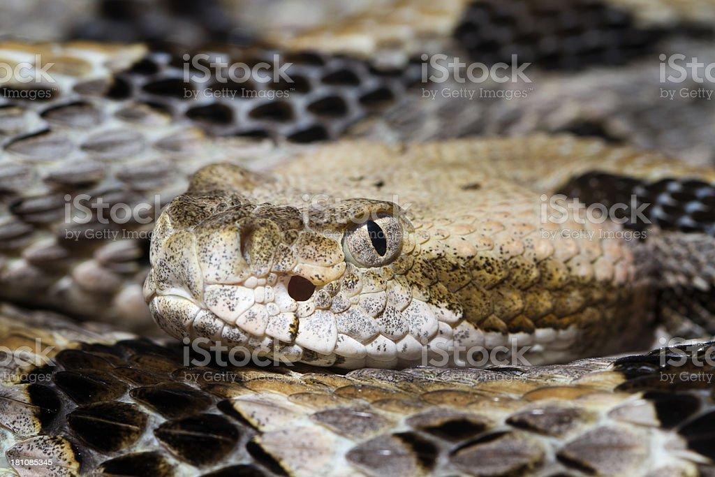 Close-up of a Timber (Canebrake) Rattlesnake stock photo