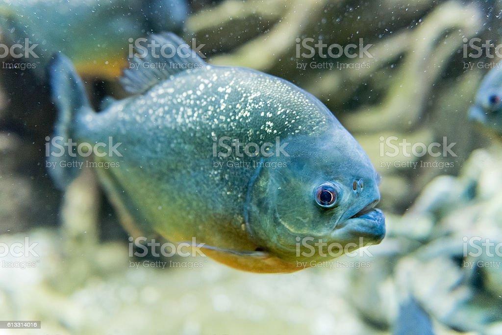 Closeup of a tropical piranha fish underwater in aquarium environment stock photo