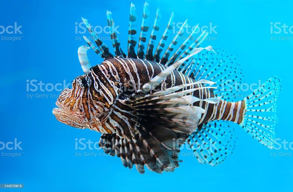 Close-up of a Turkey fish royalty-free stock photo
