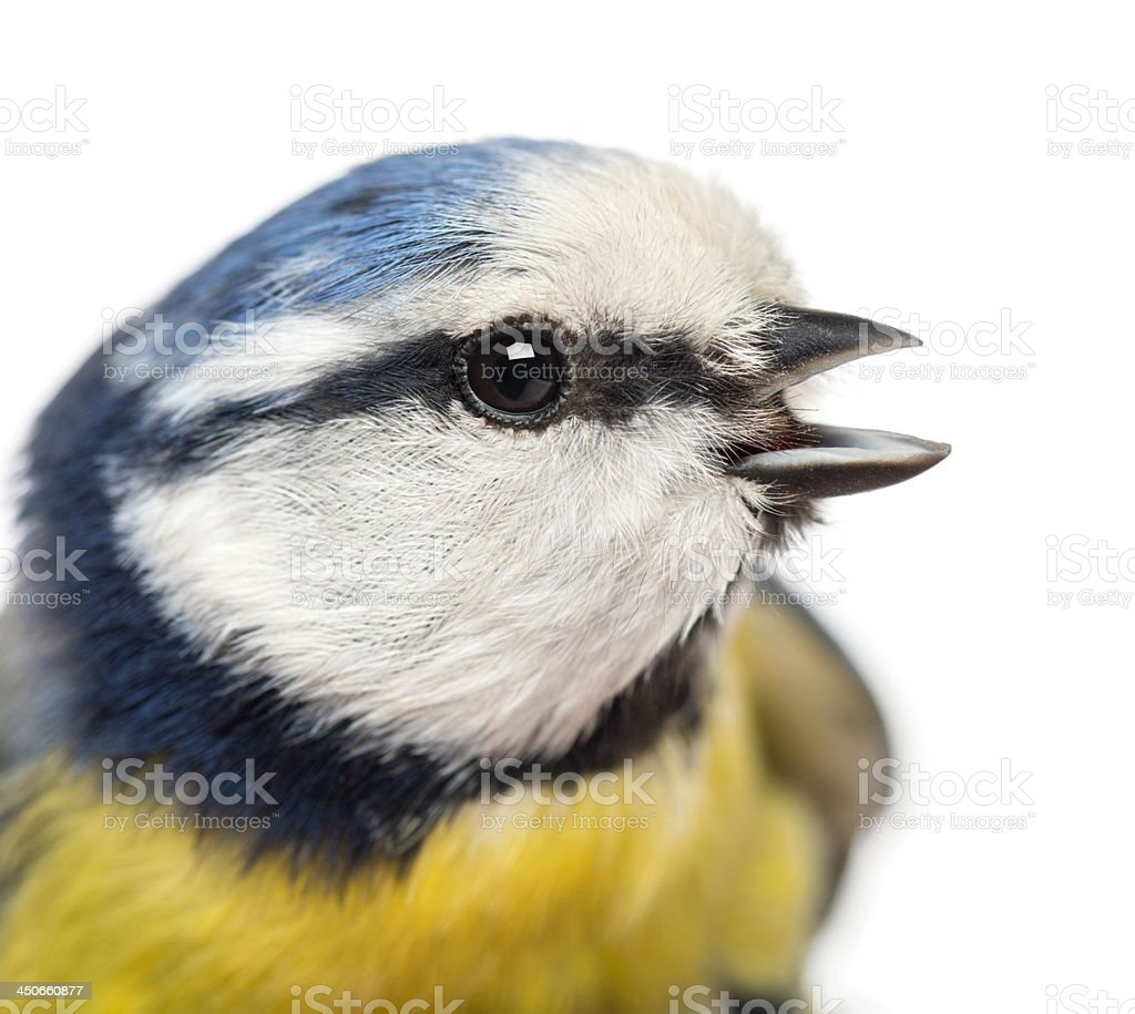 Close-up of a tweeting Blue Tit, Cyanistes caeruleus stock photo