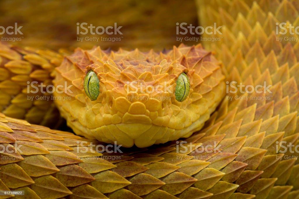 Close-up Of a Venomous Bush Viper Snake stock photo