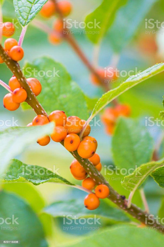 Closeup of a Verticillata Winterberry Shrub stock photo