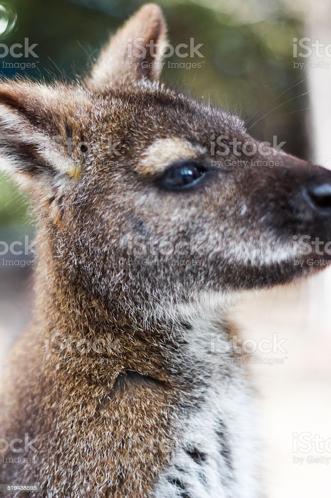 Close-up of a Wallaby's Face stock photo