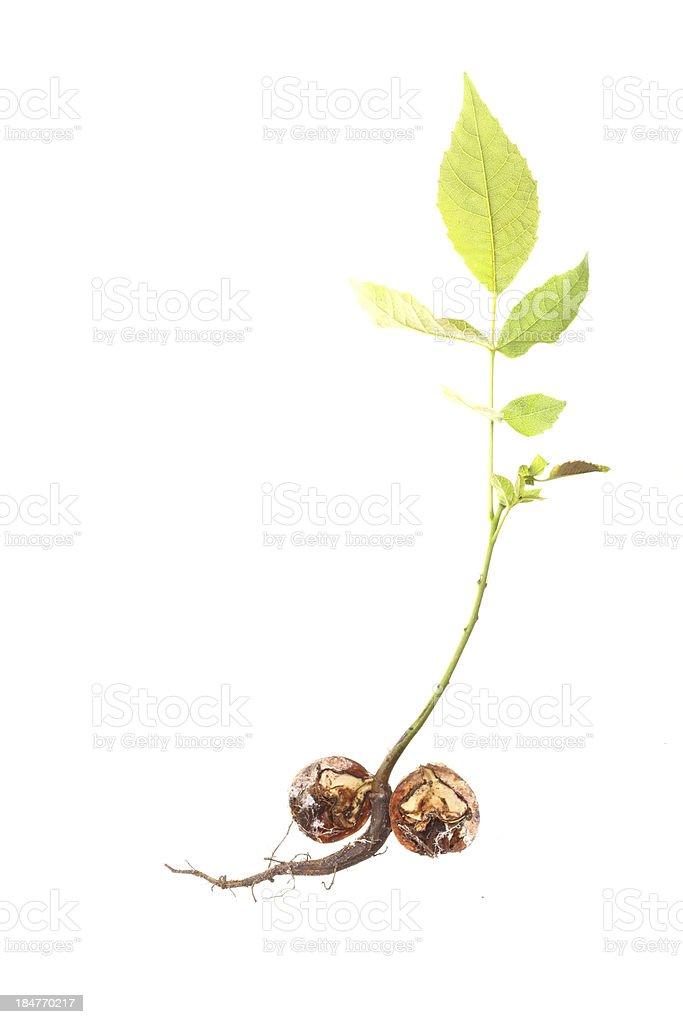 closeup of a Walnut tree isolated royalty-free stock photo