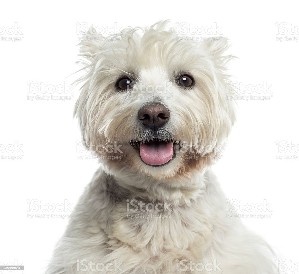 Close-up of a Westhighland WhiteTerrier panting, isolated stock photo
