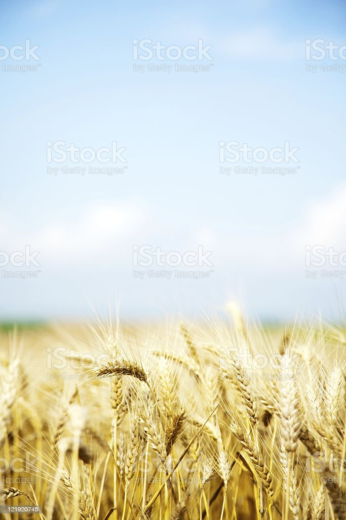 Close-up of a wheat field on light blue sky and clouds royalty-free stock photo
