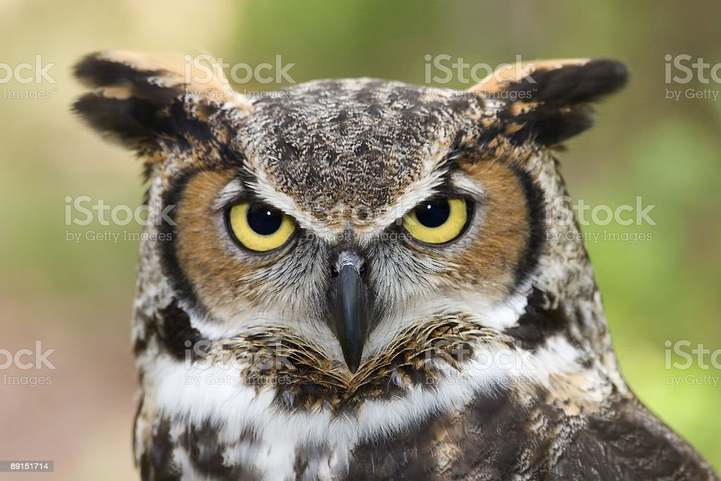 Closeup of a white and brown great horned owl stock photo