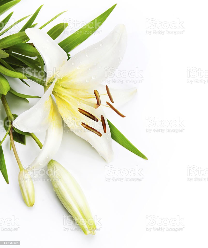 Close-up of a white and yellow Madonna Lily stock photo