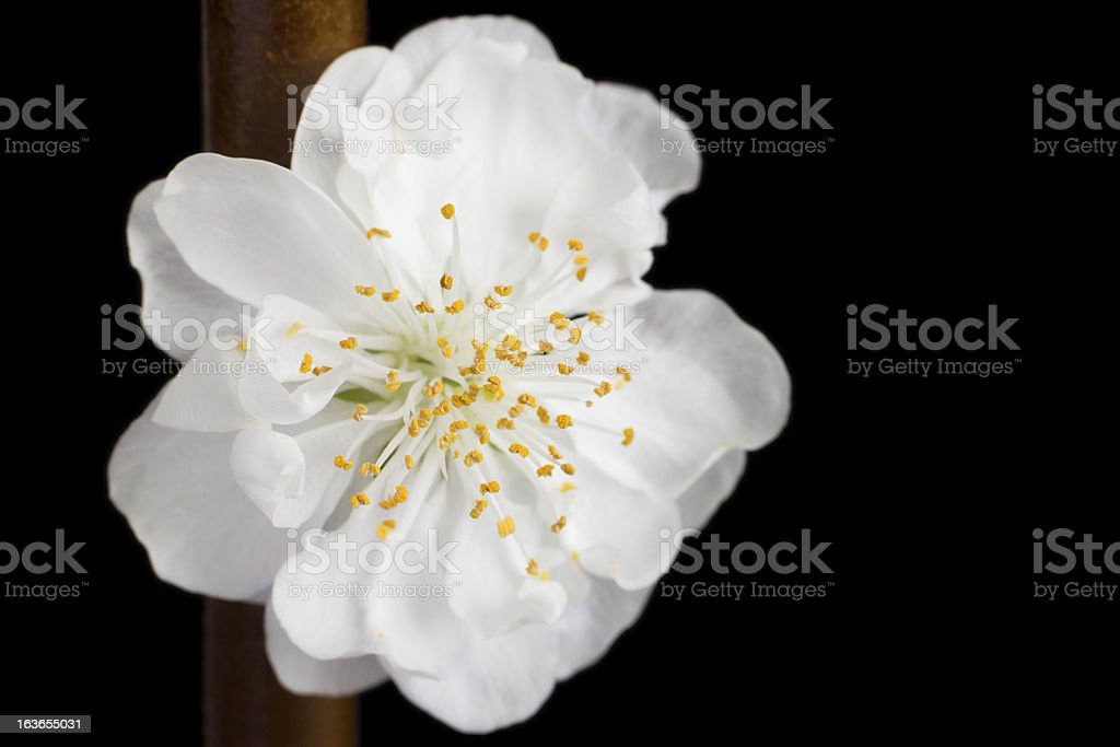 Closeup of a white apricot blossom royalty-free stock photo