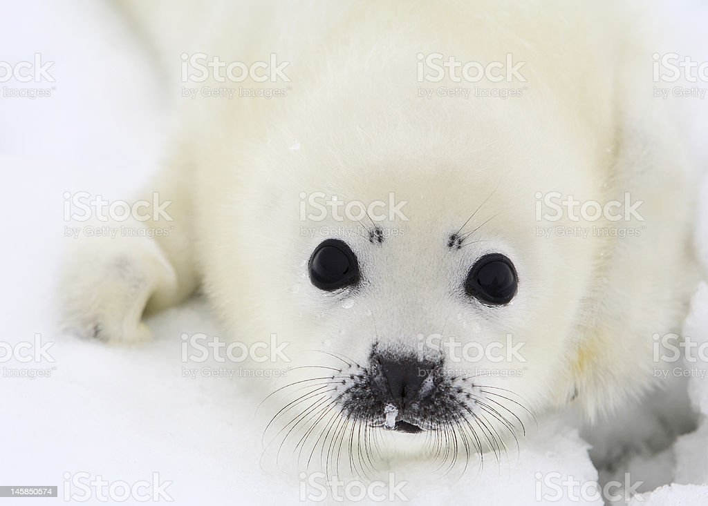 Close-up of a white baby harp seal pup stock photo