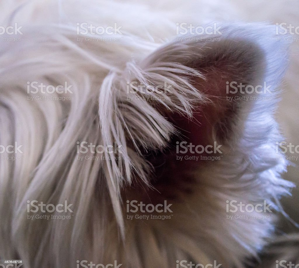 Close-up of a White Dog Ear royalty-free stock photo