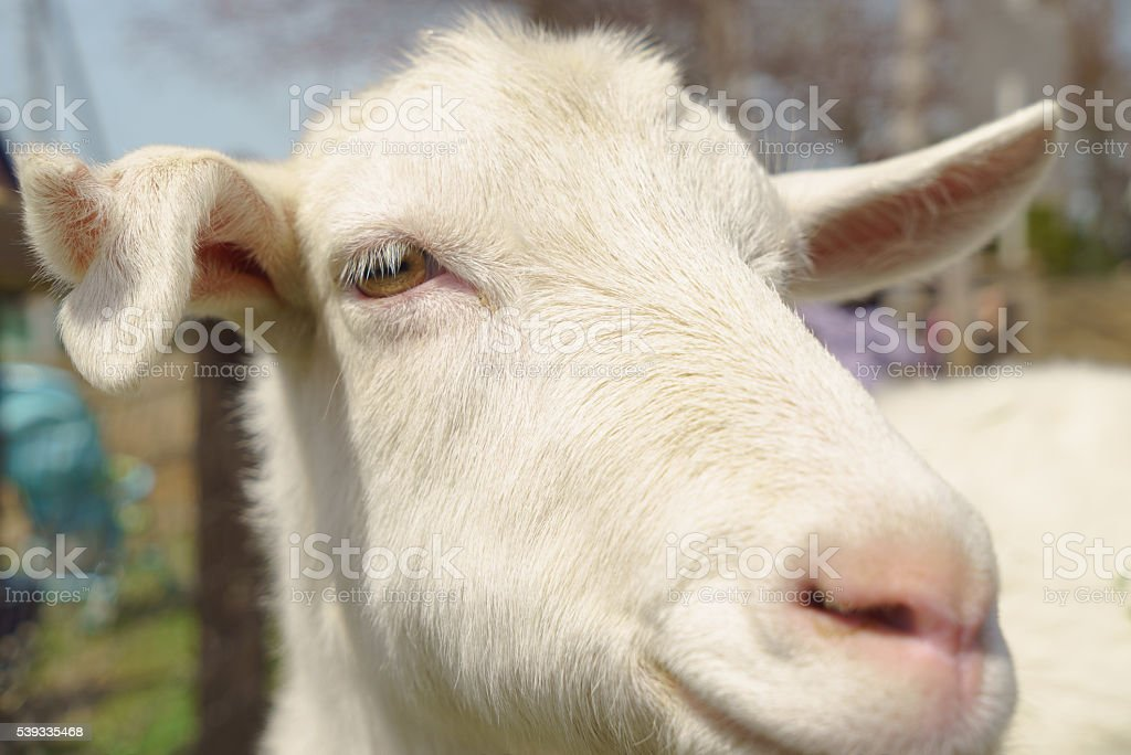 Close-up of a white goat stock photo