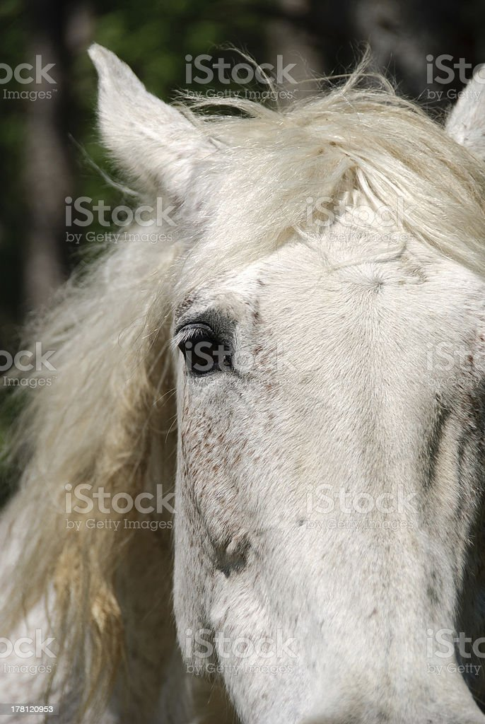closeup of a white horse royalty-free stock photo