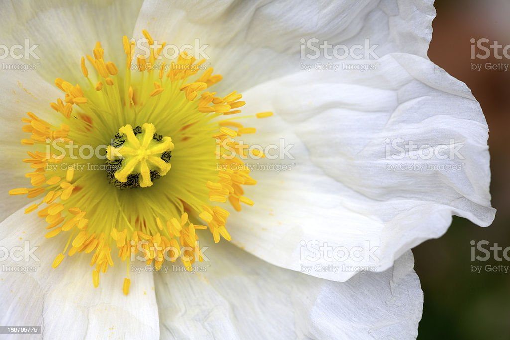 Closeup of a white poppy flower royalty-free stock photo