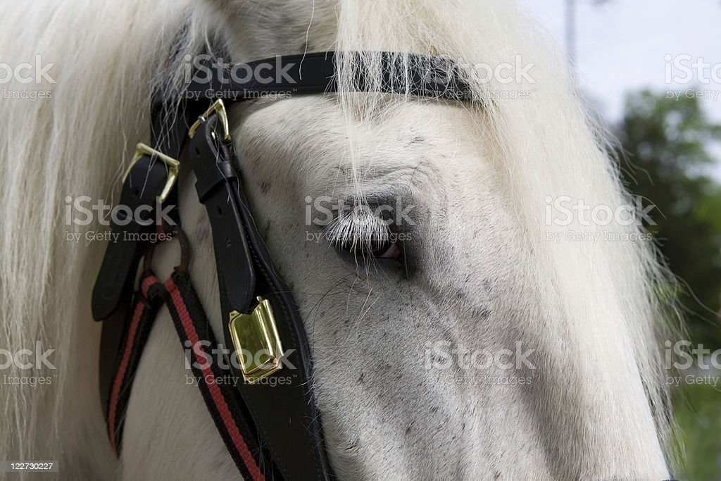 Close-up of a white shire horse stock photo