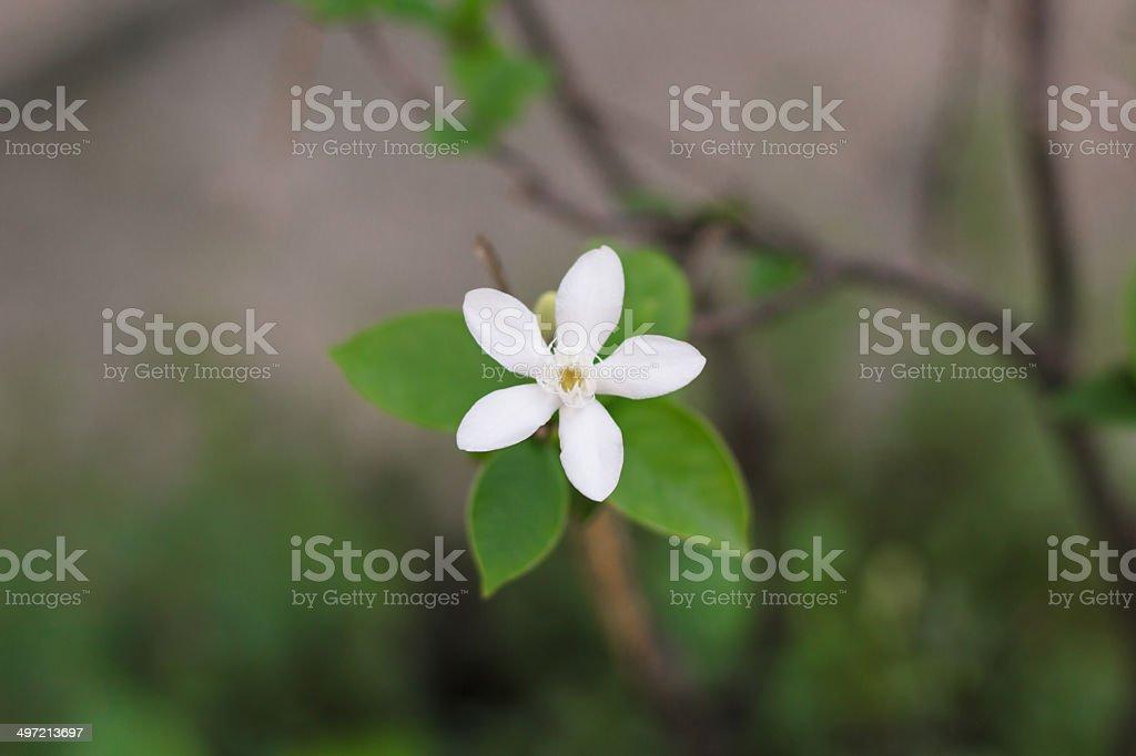 Closeup Of A White Snowflake Flower royalty-free stock photo
