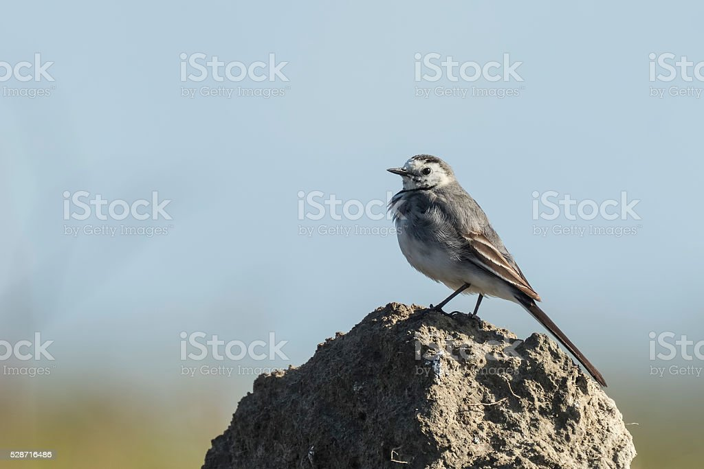 Closeup of a White Wagtail stock photo