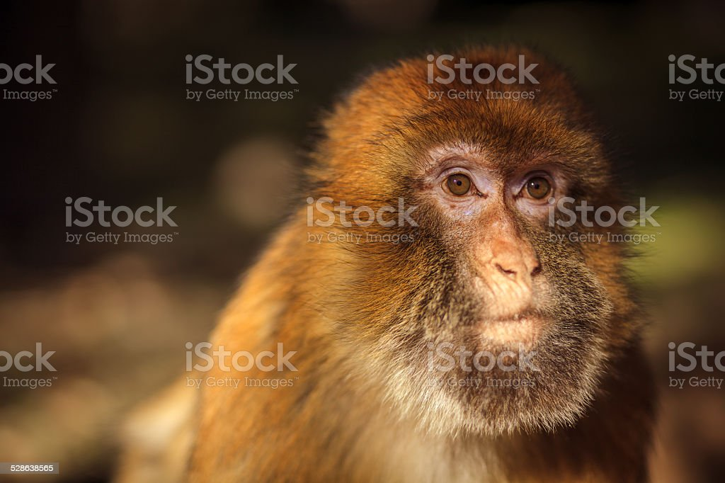 Close-up of a wild monkey stock photo