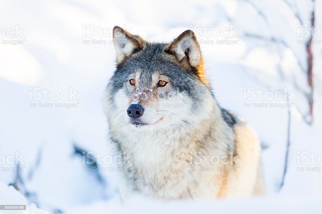 Close-up of a wolf standing in the snow stock photo