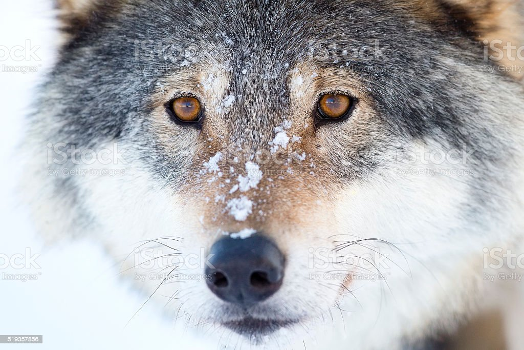 Close-up of a wolfs head in the winter stock photo