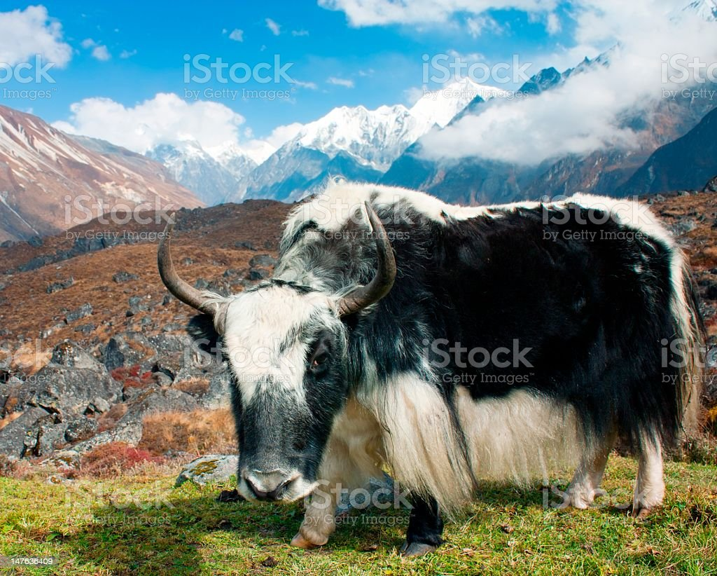 A close-up of a Yak in Langtang valley, Nepal stock photo