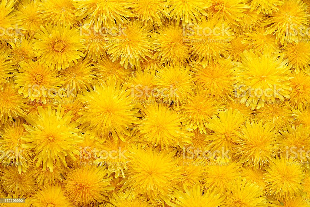 Close-up of a yellow carpet of dandelions royalty-free stock photo