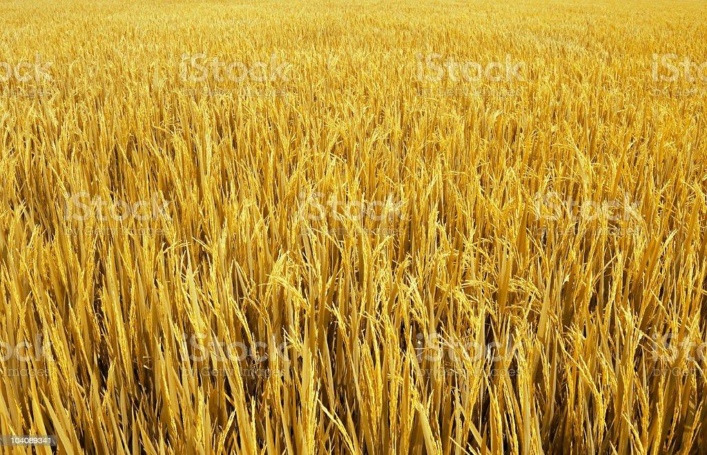 Closeup of a yellow rice field stock photo