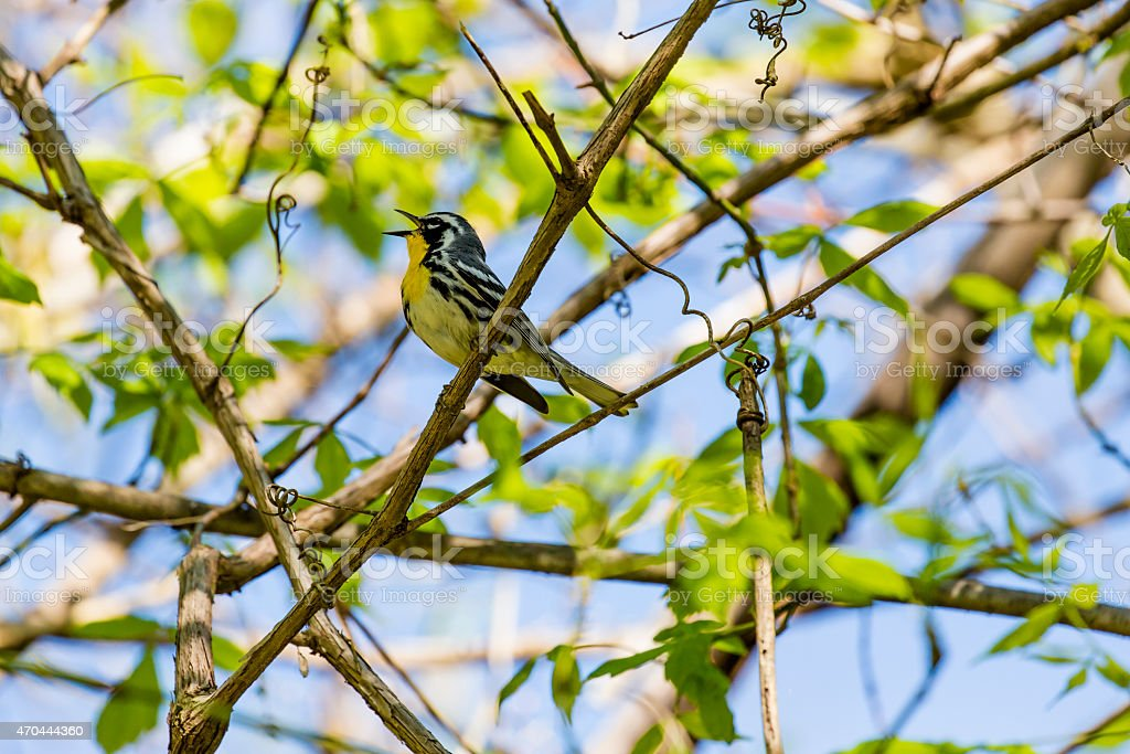 Closeup of a Yellow-throated Warbler (Dendroica dominica) Singing stock photo