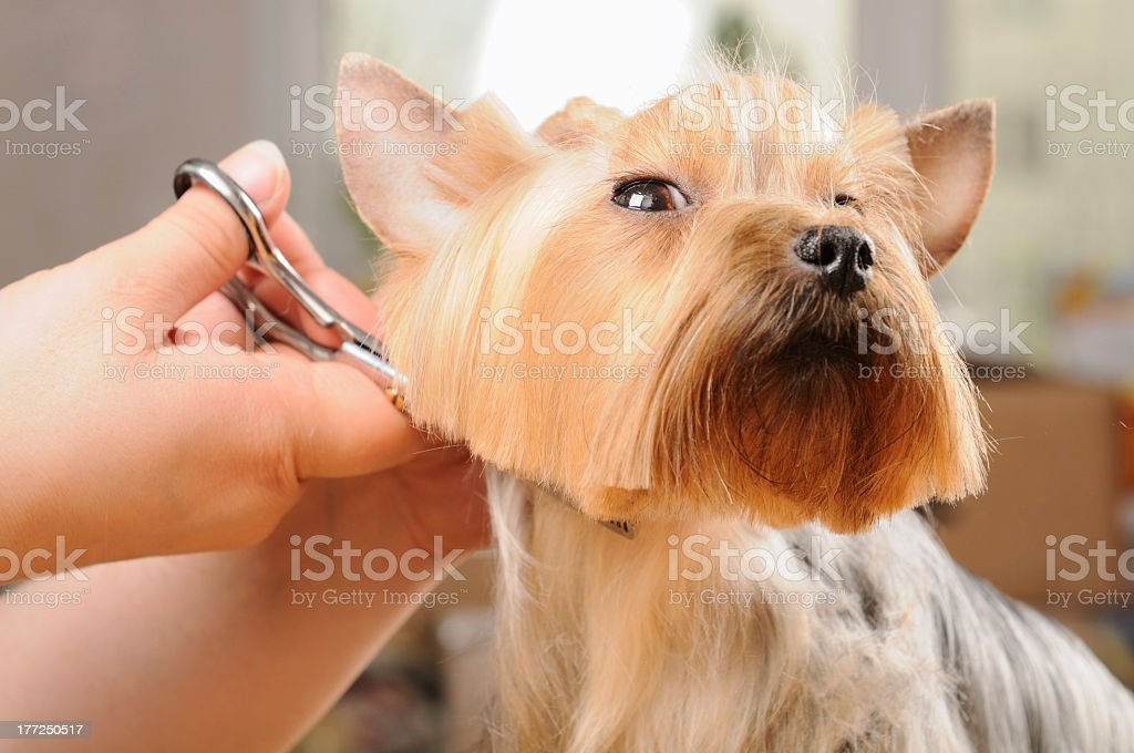 Close-up of a yorkie dog receiving a fur cut stock photo