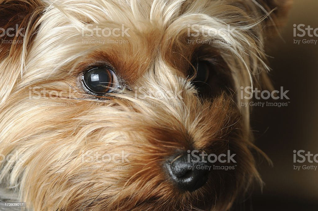 Close-up of a Yorkshire Terrier face stock photo
