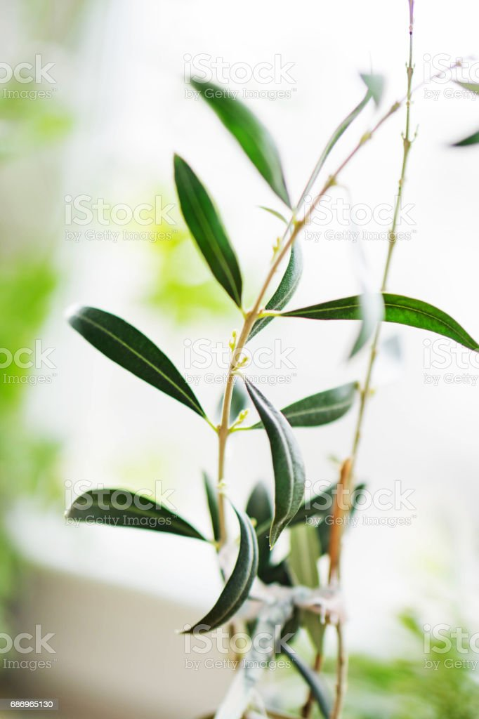 Closeup of a young, sapling olive stock photo