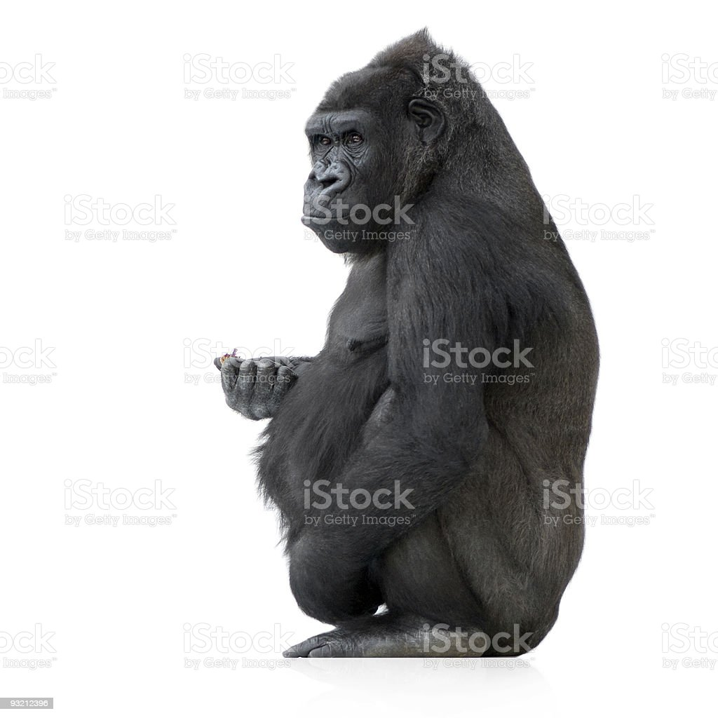 Close-up of a young silverback gorilla stock photo