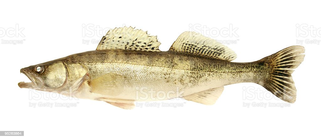 Close-up of a Zander fish isolated on white royalty-free stock photo