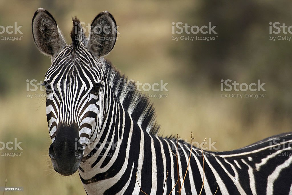 Close-up of a zebra turned to look at the camera stock photo