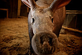 Close-up of aardvark in barn with nose near the camera