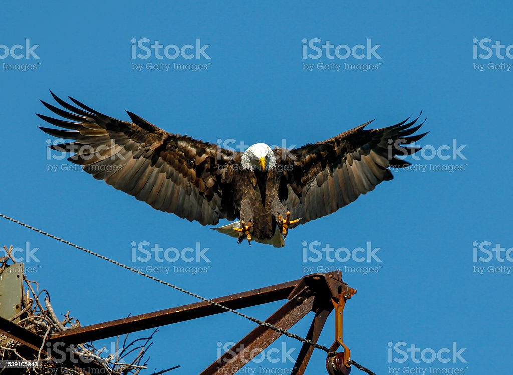 Close-up of Adult Bald Eagle Full Underside Wing Spread stock photo