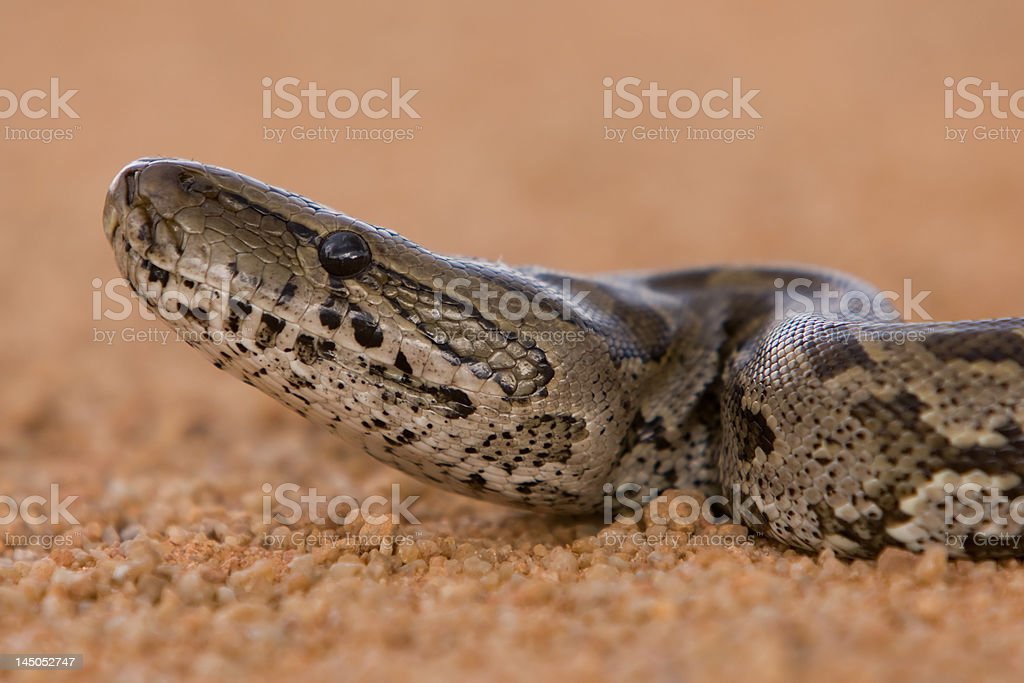 Close-up of African rock python royalty-free stock photo