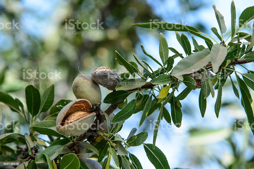 Close-up of Almonds Ripening on Tree stock photo