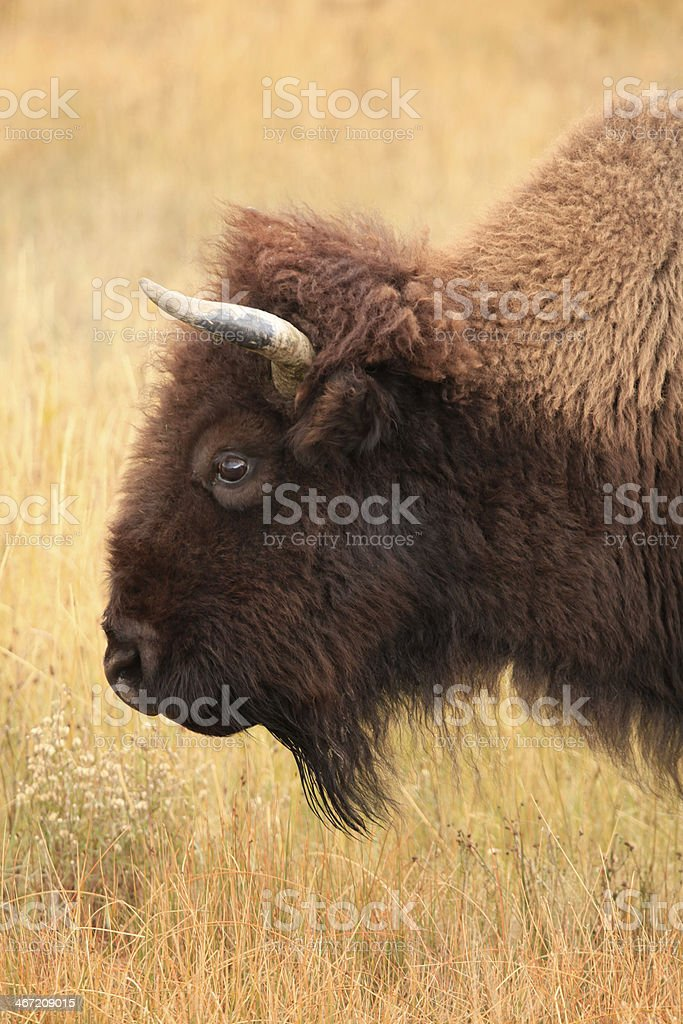 Closeup of American Buffalo or Bison stock photo