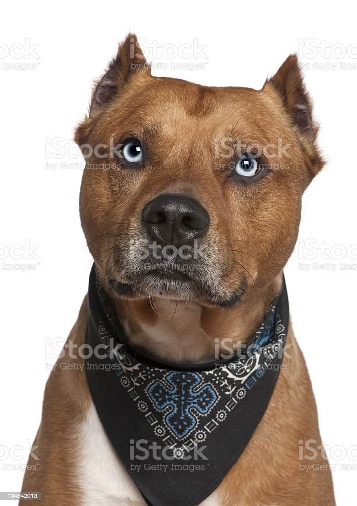 Close-up of American Staffordshire terrier wearing handkerchief. stock photo