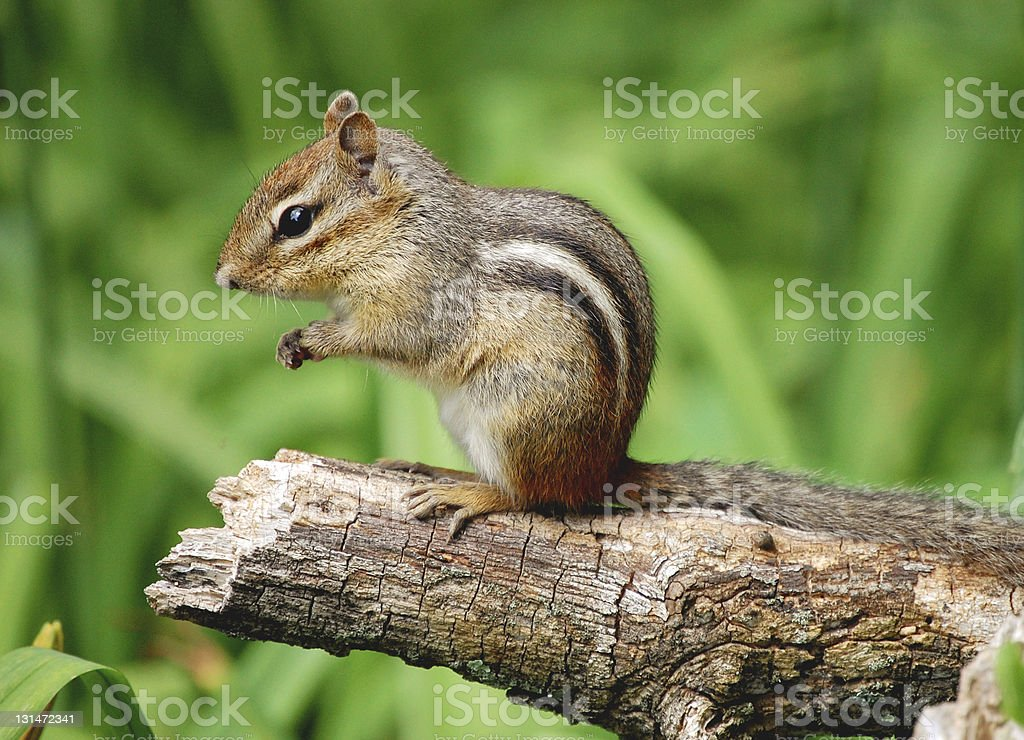 A close-up of an adorable chipmunk sitting on a tree branch stock photo