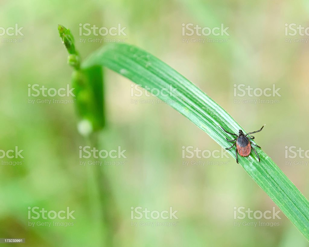 A close-up of an adult tick on a piece of grass stock photo