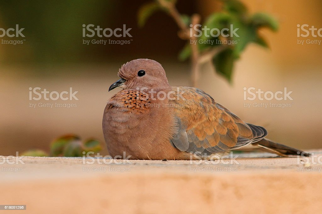 Close-up of an African turtle dove stock photo