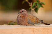 Close-up of an African turtle dove