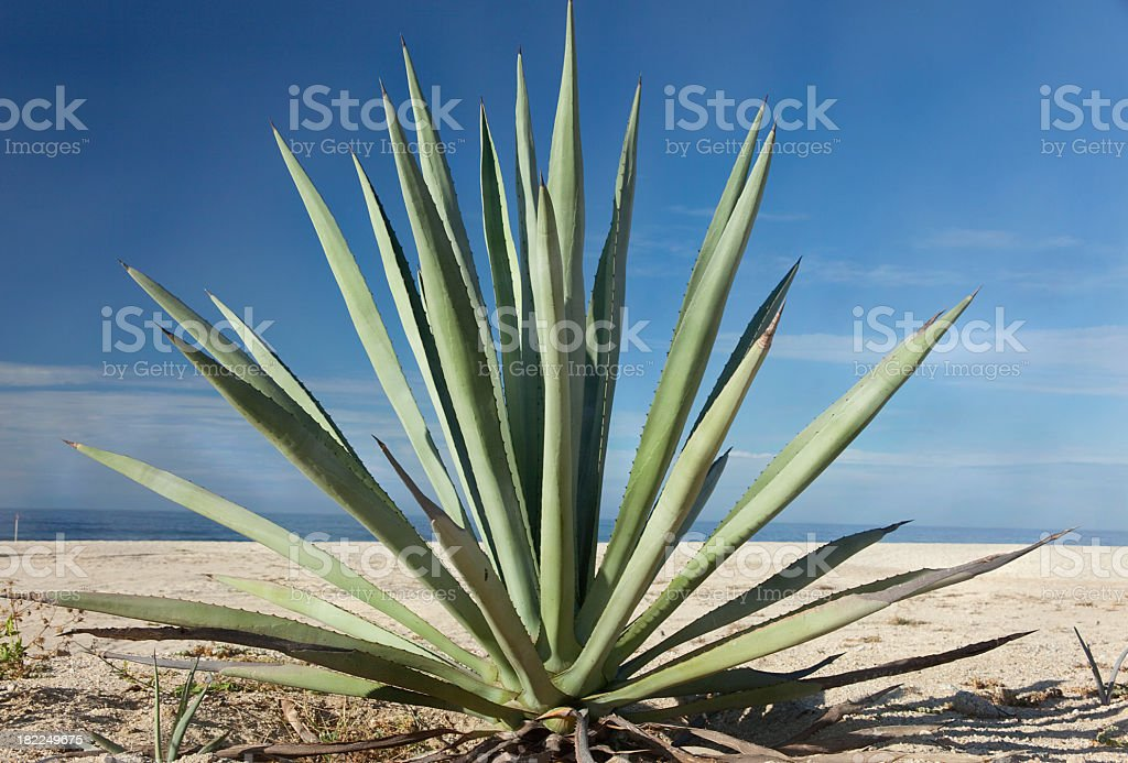 Close-up of an agave plant in the desert stock photo