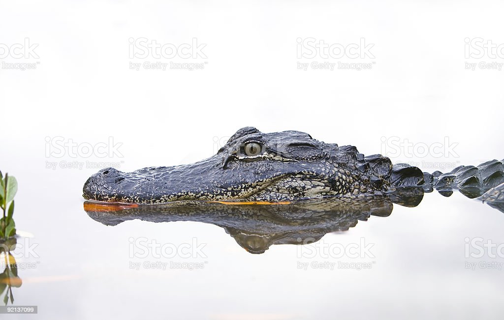 Close-up of an Alligator in the water. stock photo