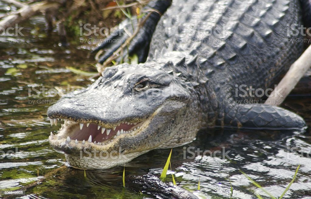 Close-up Of An Alligator stock photo
