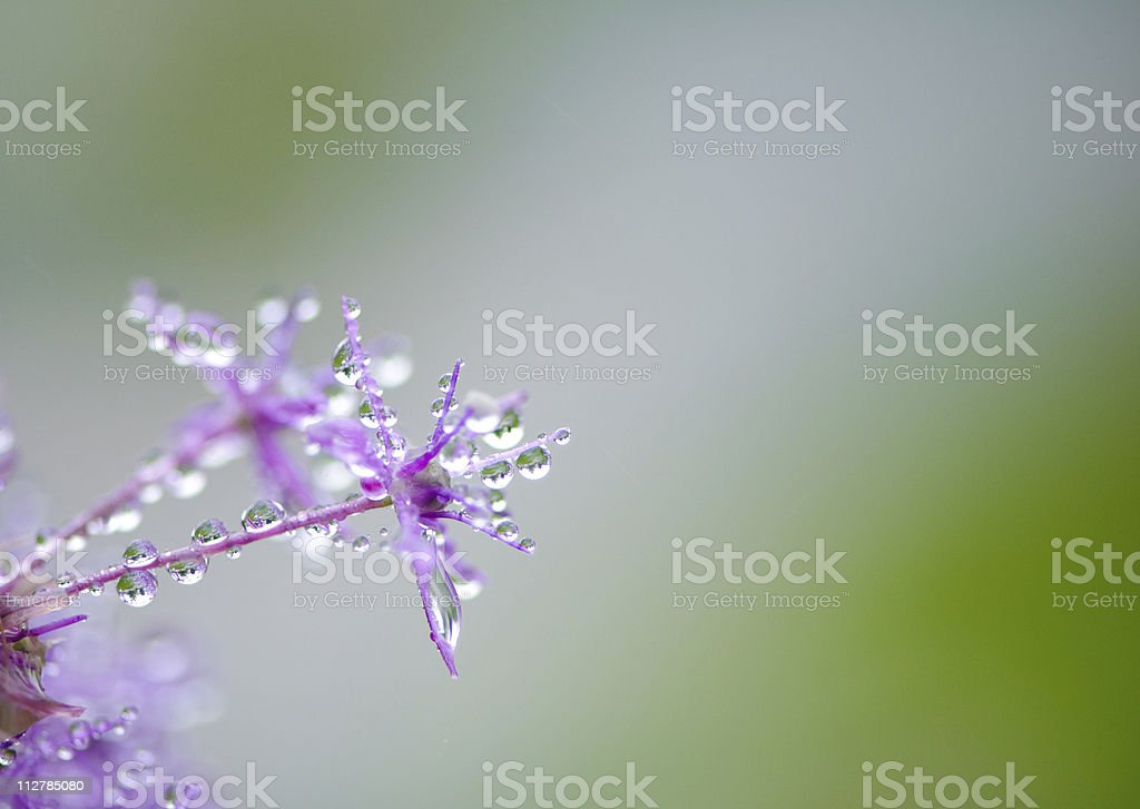 Close-up of an allium flower head stock photo