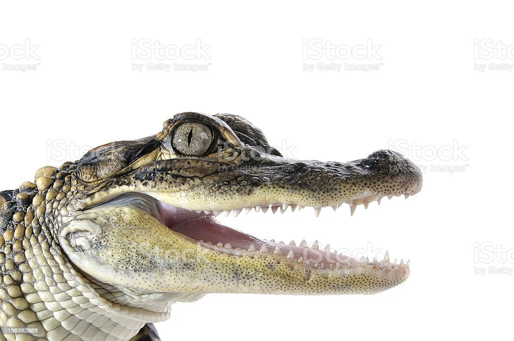 Close-up of an American Alligator's head over white backdrop stock photo